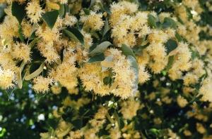 Tilia americana-spring image-flowers