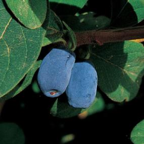 http://www.starkbros.com/products/berry-plants/honeyberry-plants/blue-moon-honeyberry
