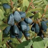 http://www.starkbros.com/products/berry-plants/honeyberry-plants/blue-velvet-honeyberry