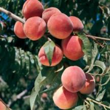 http://www.starkbros.com/products/fruit-trees/peach-trees/burbank-july-elberta-peach