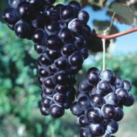 http://www.starkbros.com/products/berry-plants/grape-vines/concord-seedless-grape