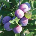 http://www.starkbros.com/products/fruit-trees/plum-trees/damson-plum
