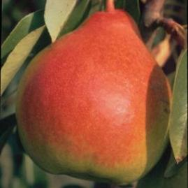 http://www.starkbros.com/products/fruit-trees/pear-trees/moonglow-pear