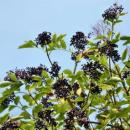 http://www.starkbros.com/products/berry-plants/elderberry-plants/nova-elderberry