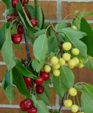 http://www.starkbros.com/products/fruit-trees/cherry-trees/stark-custom-graft-2-n-1-cherry