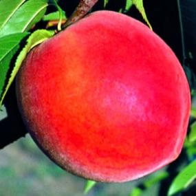 http://www.starkbros.com/products/fruit-trees/peach-trees/stark-elberta-queen-peach