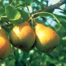 http://www.starkbros.com/products/fruit-trees/pear-trees/stark-honeysweet-pear