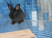 Our Mini Rex doe, Lyra, she is about a month old here