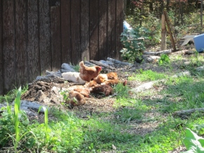Chickens happy to be out of their coop and run