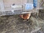 Here is a hen foraging for worms that LOVE the rabbit manure
