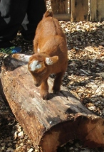 Basil playing on the log in their temporary outdoor pen