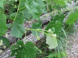 Grape vines, under attack by little white, black and orange striped worms