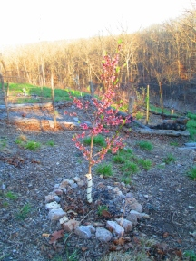 This is supposed to be our Green Gage Plum tree.... yet it looks too much like a peach tree. Oy, it's pretty though