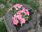 One of the stump planters helping Marlee's little impatiens to thrive