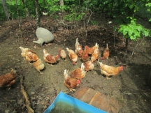 Happy chickens feasting on yucky forage, lol