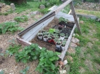 Our cold frame full of baby plants: heirloom tomatoes, green ice lettuce & black seeded simpson lettuce, green sprouting broccoli, garnet amaranth, and kentucky wonder & burgandy bush beans. Outside the coldframe you see our strawberries beginning to get ripening berries and runners!