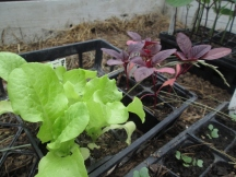 Green Ice Lettuce & Garnet Amaranth