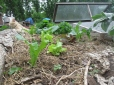 My lettuce bed again, I love greens :)