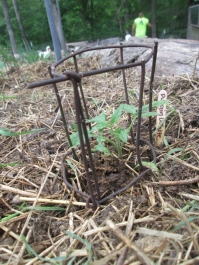 Tomato seedling protector - made from scrap wire fencing.