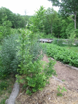 Blueberry bush, behind it is my wormwood, and on the other side of the path you see our main strawberry bed.